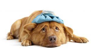 Il-colpo-di-calore-del-cane-prevenzione-sintomi-e-come-intervenire[1]