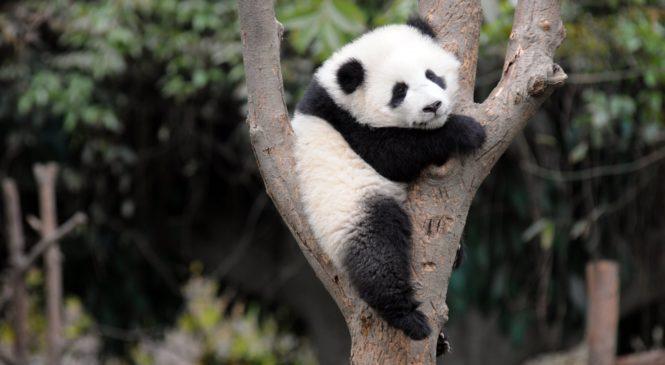 Dopo decenni il panda gigante è fuori dalla lista di estinzione