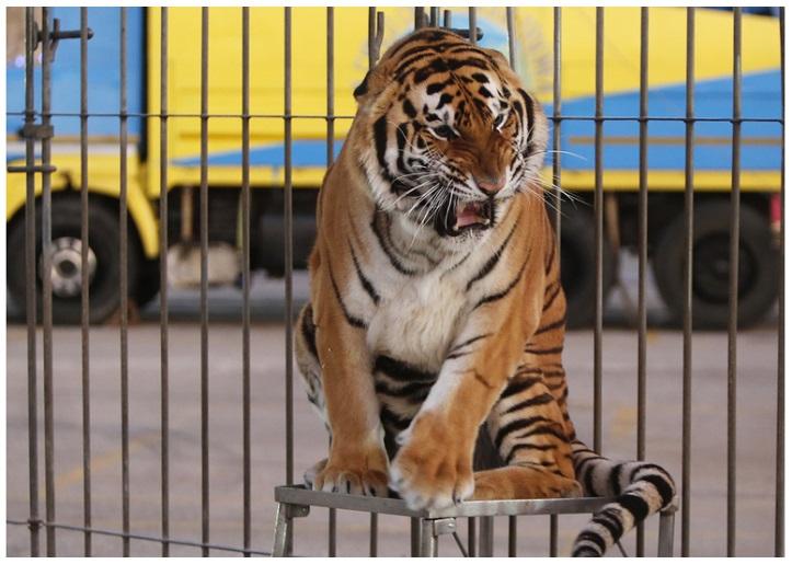 Circo con Animali – Cani e Tigri dall'Albania bloccati al porto di Bari