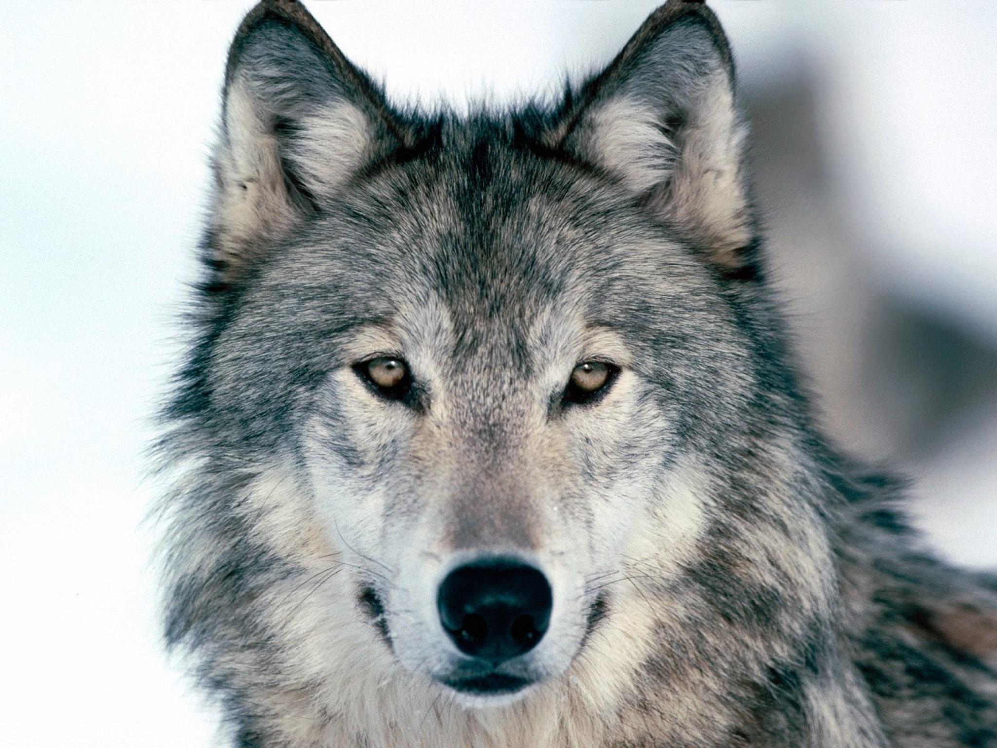 Val d'Aosta – LNDC chiede i dati relativi alle predazioni da parte dei lupi
