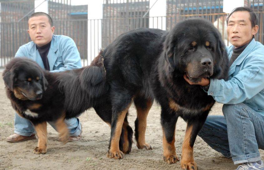 Le razze di cane più costose al mondo