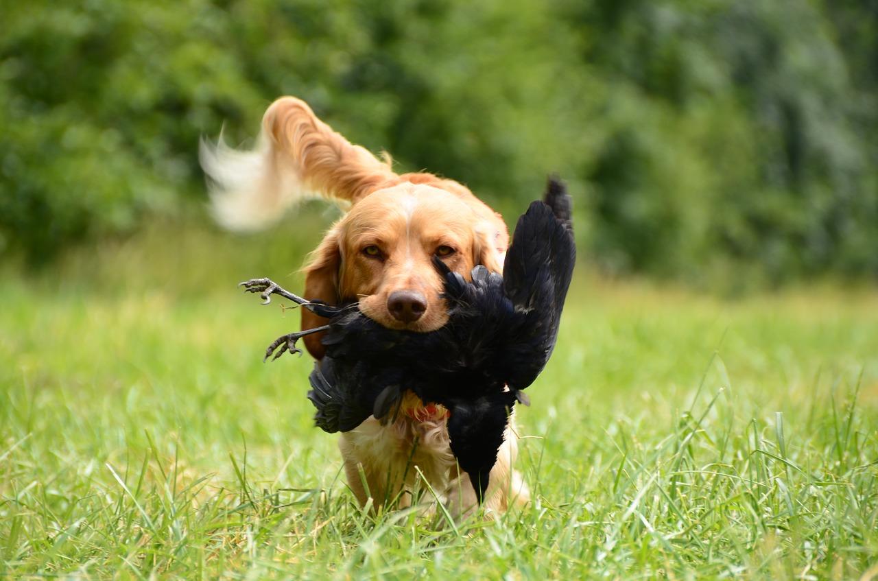Cani da caccia: aspetto e caratteristiche