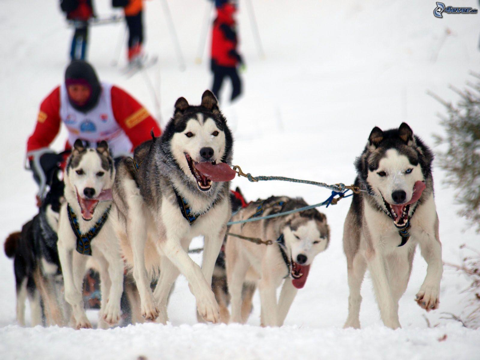 Cani da slitta: razze e caratteristiche
