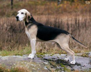 Cani Da Caccia Aspetto E Caratteristiche Lega Del Cane Carbonia