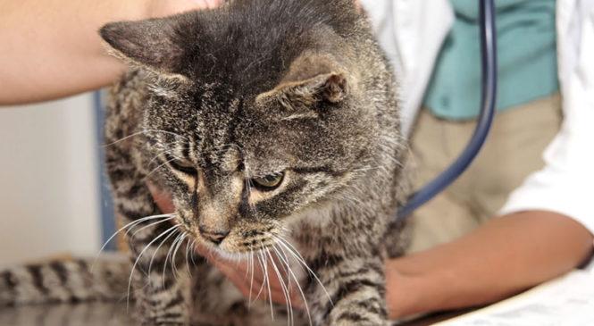 Malattie nei gatti: come riconoscerle e curarle