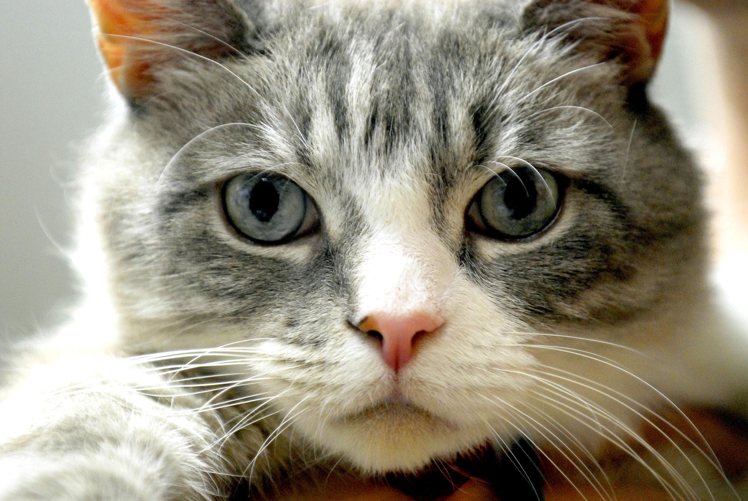 Le razze di gatto giudicate più belle