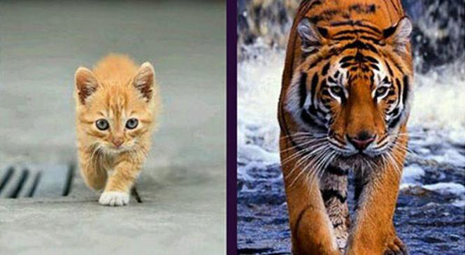 Cosa hanno in comune il tuo gatto e una tigre?