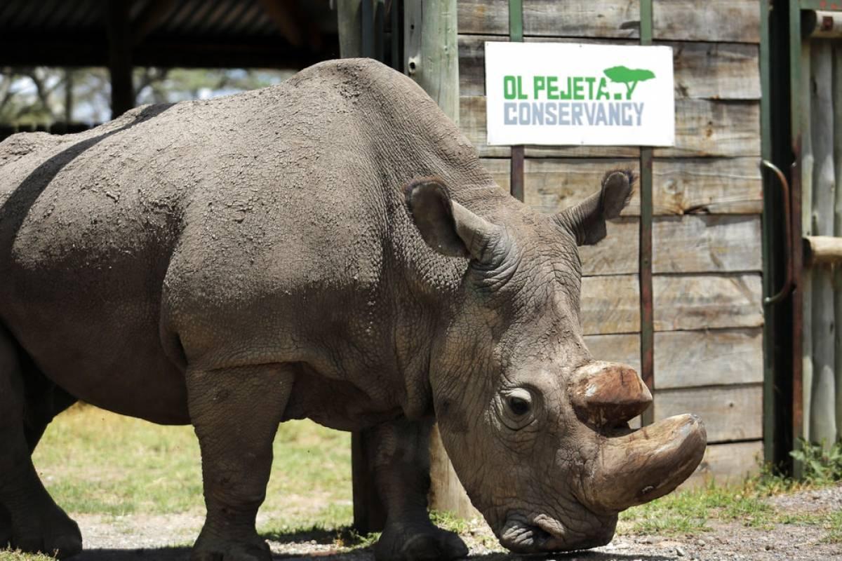 L'ultimo rinoceronte bianco, storia dell'estinzione di una specie