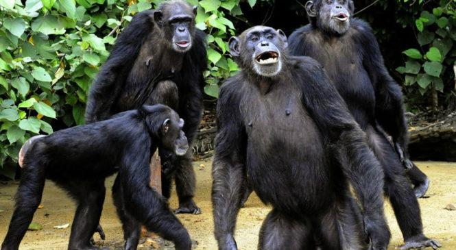 10 comportamenti che accomunano l'uomo ai primati