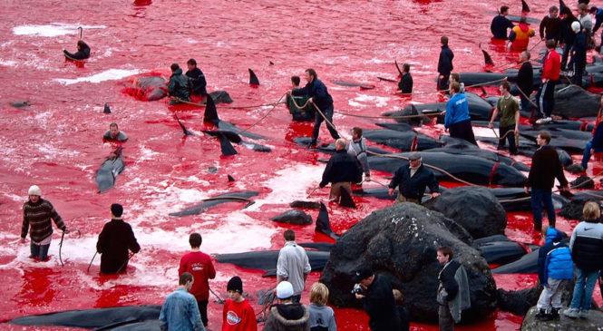 Grindadrap: il massacro di cetacei delle isole Far Oer