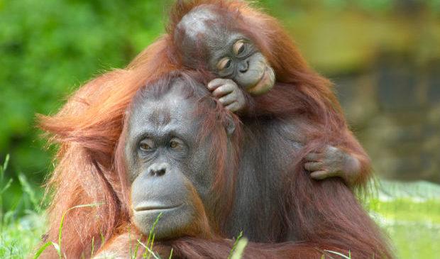 """Gli oranghi """"parlano"""" al passato"""