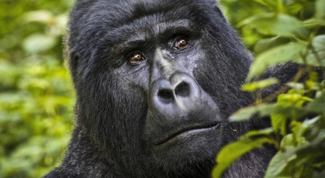 l lutto dei gorilla