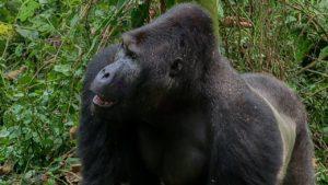 Gorilla in lutto