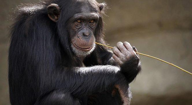 """Gli scimpanzé stanno perdendo le loro """"tradizioni"""""""
