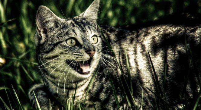 L'Australia vuole sterminare due milioni di gatti entro il 2020