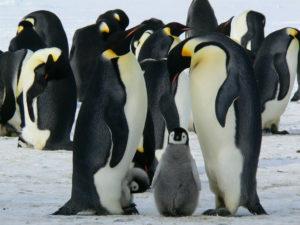 Colonia di pinguini imperatore