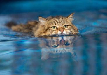 I gatti hanno paura dell'acqua, o forse no?