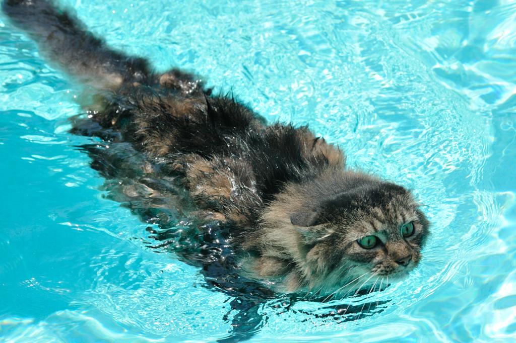 Alcuni gatti adorano l'acqua