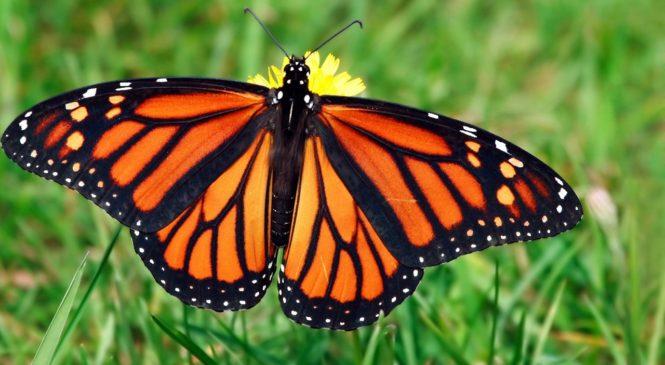 Le farfalle d'allevamento non hanno il senso dell'orientamento