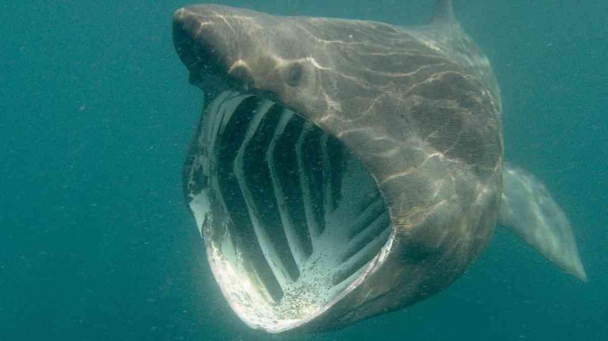 Gli squali del Mediterraneo