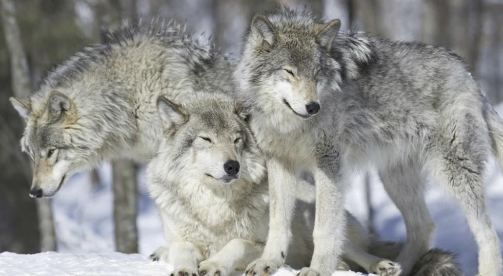 Il lupo rischia l'estinzione diventando cane