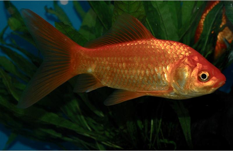 Parassiti pesci rossi
