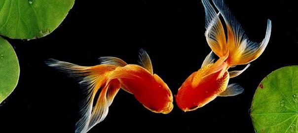 Le malattie dei pesci rossi