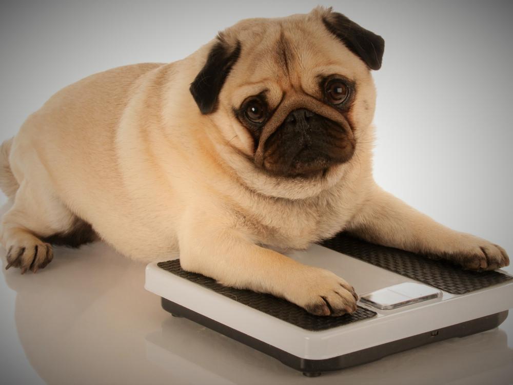 L'obesità nei cani e nei gatti: rischi e soluzioni