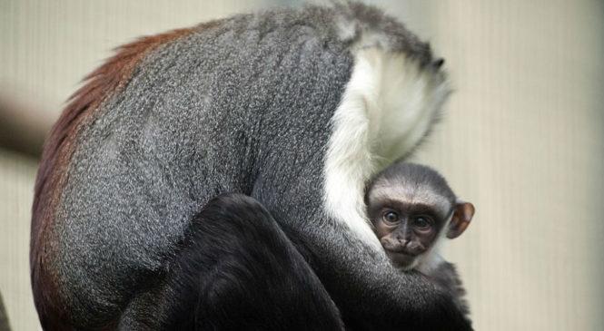 I primati a rischio estinzione