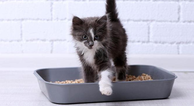 Cosa dobbiamo sapere sulla lettiera del gatto