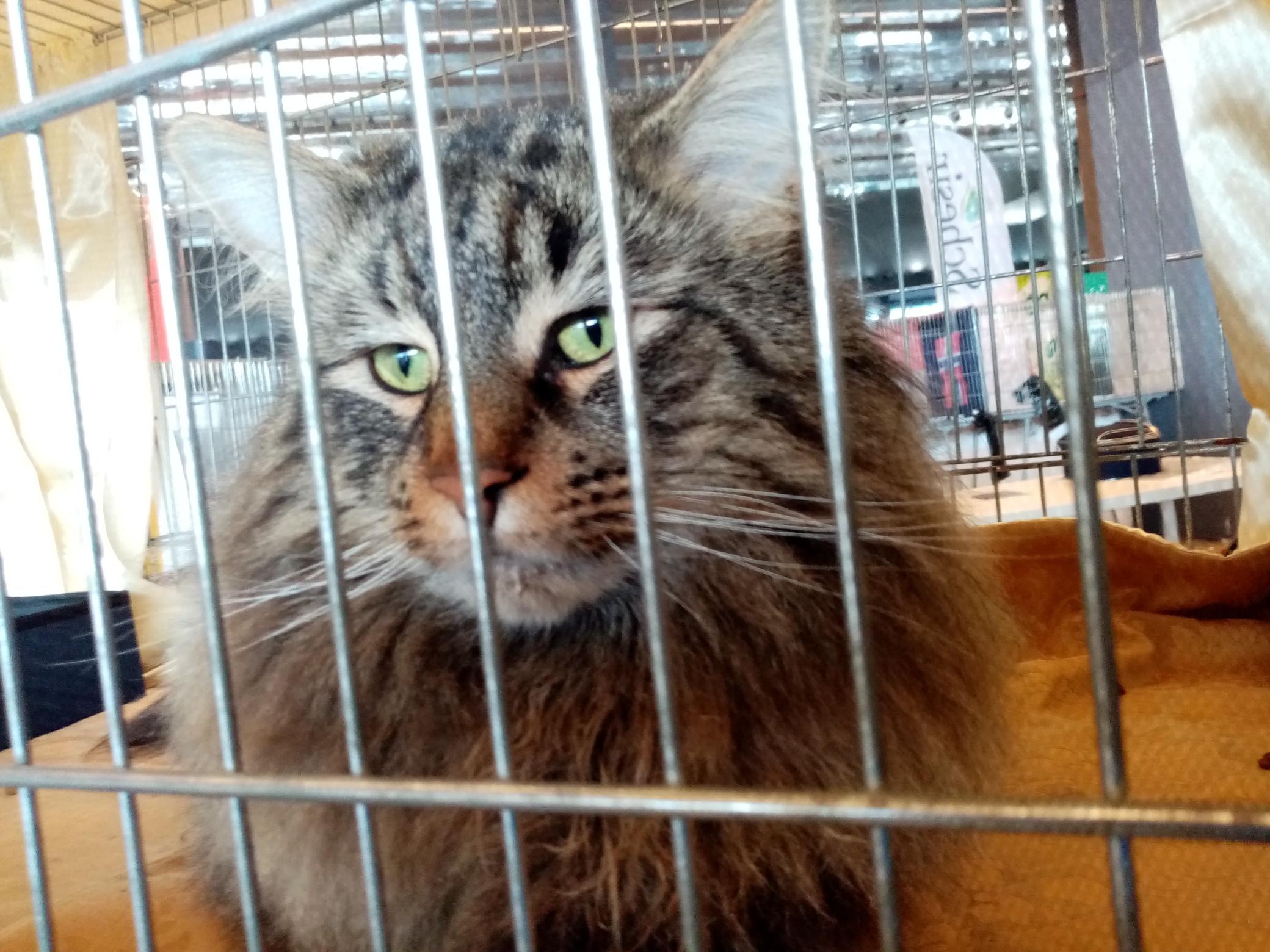 WorldCats, alla ricerca del gatto più bello
