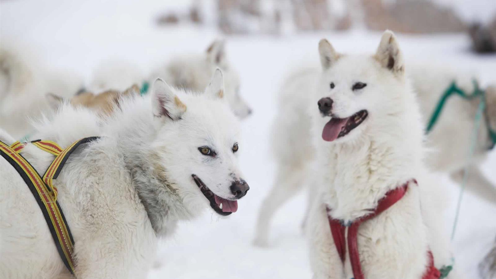 Cani da sleddog