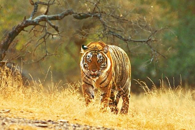 Le tigri dell'India