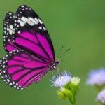 Farfalle e falene cambiano dieta