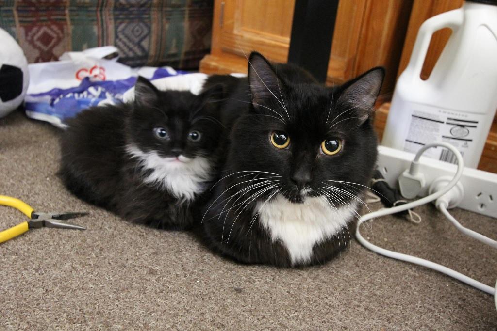 Gatti cuccioli e adulti