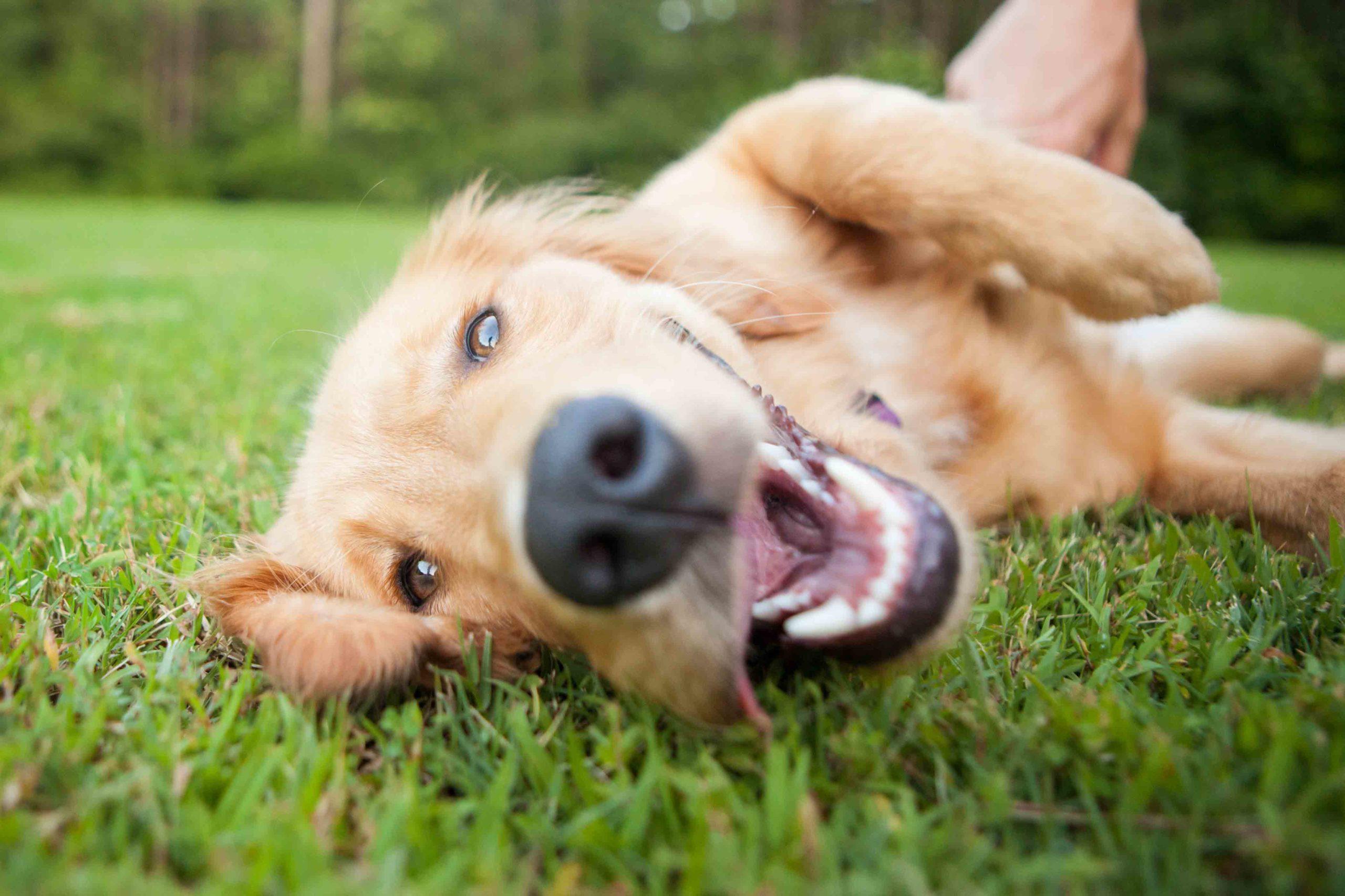Se il cane ansima e ha salivazione importante potrebbe aver ingerito un bruco di processionaria