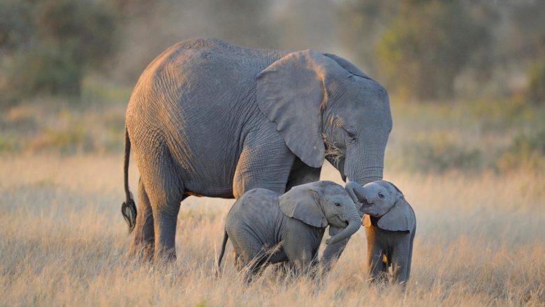 Le gravidanze dei mammiferi