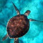 Tartarughe in pericolo: l'allarme del WWF