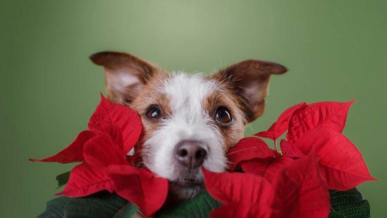 Attenzione a stella di Natale e vischio: sono tossici per cani e gatti