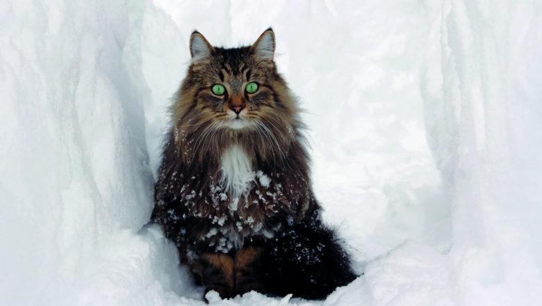 Chi sono i veri gatti delle nevi