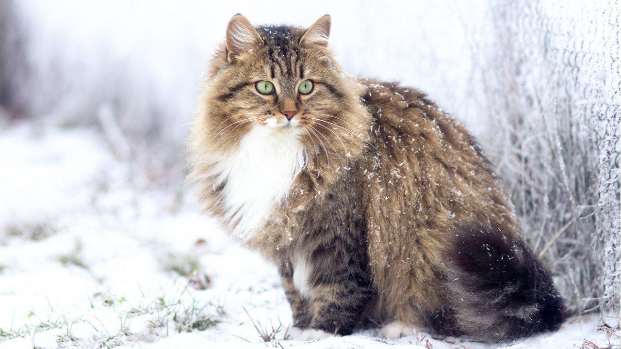 Gatti delle nevi