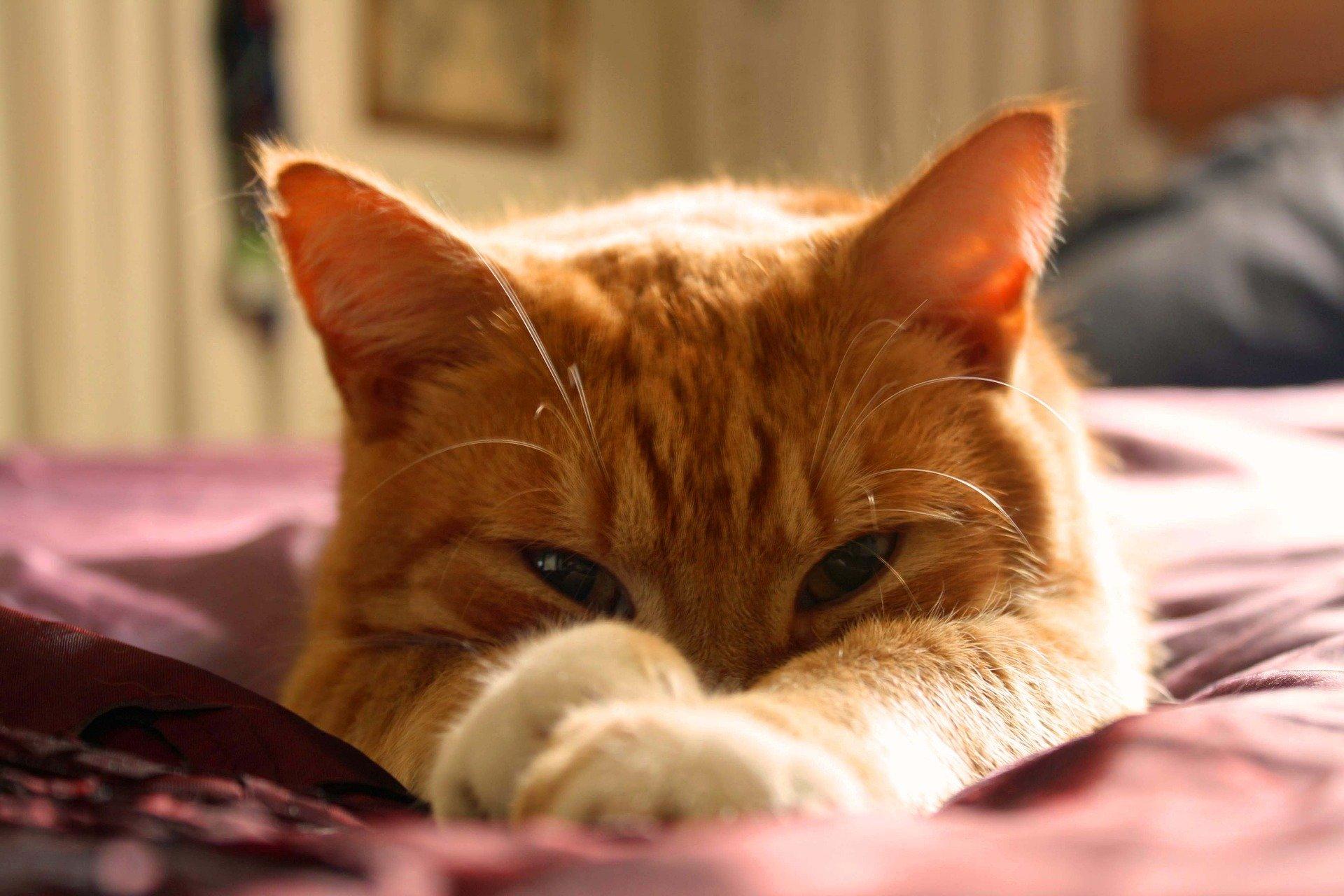 La leggenda di Muezza, il gatto di Maometto