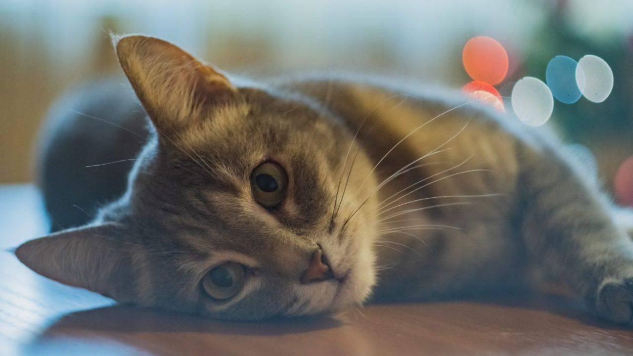 Sintomi Ictus nel gatto