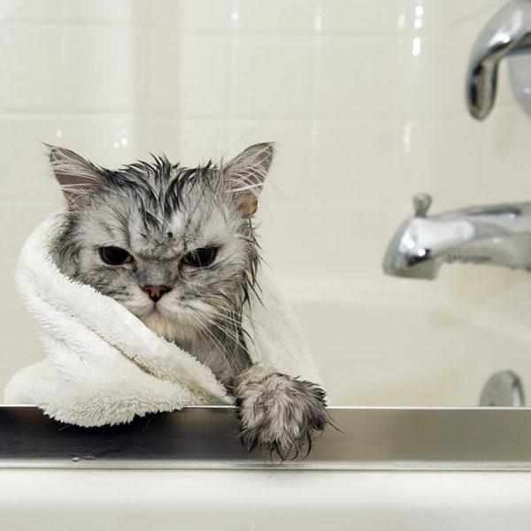 Alcune volte il gatto ha bisogno di un bagno