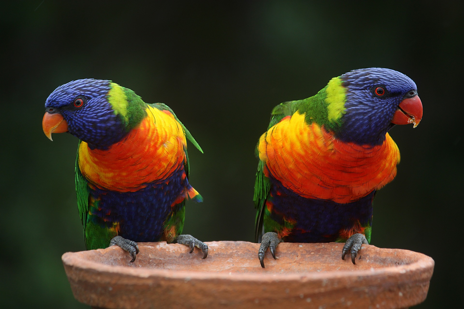 pappagalli da compagnia
