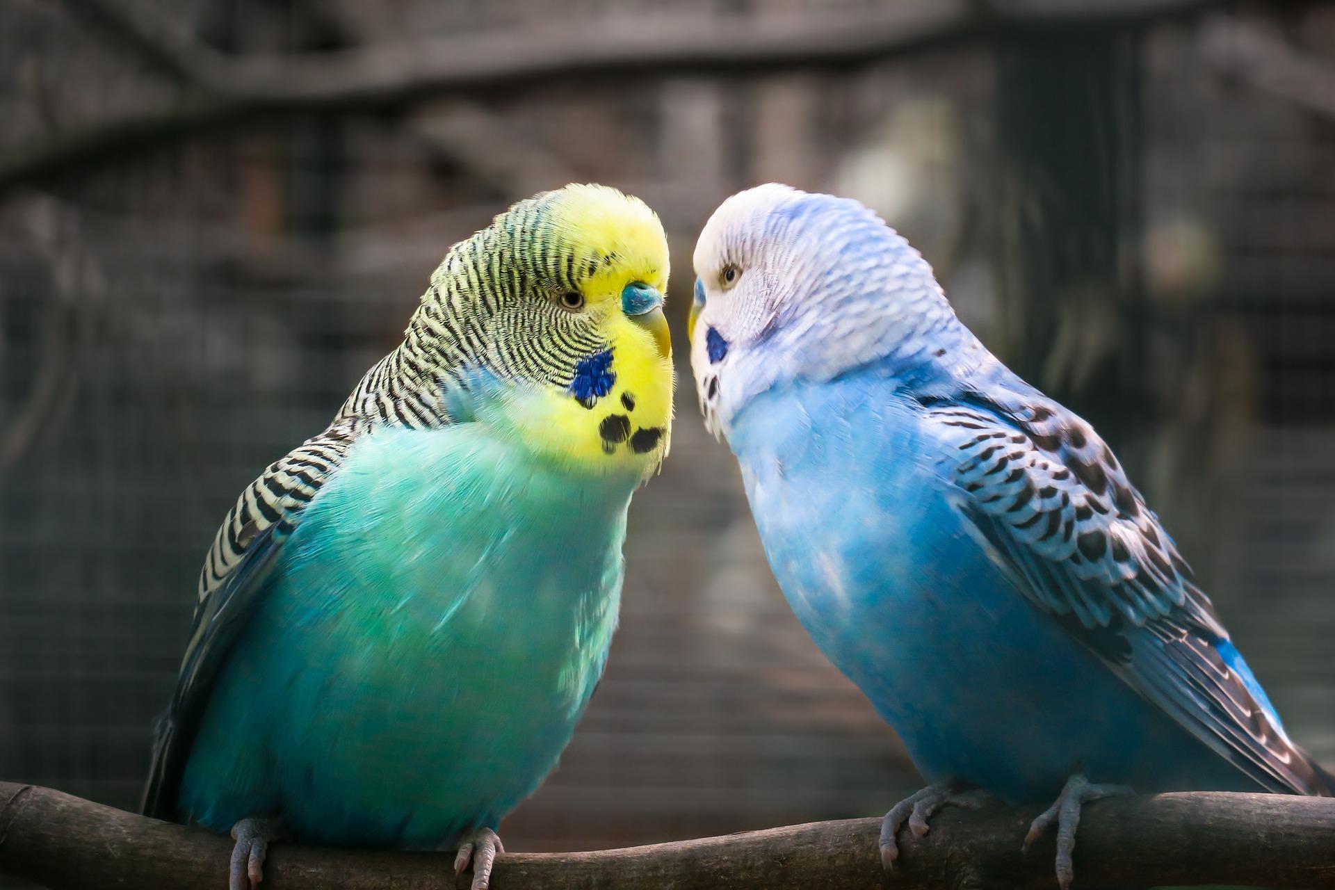 pappagalli da compagnia coppia