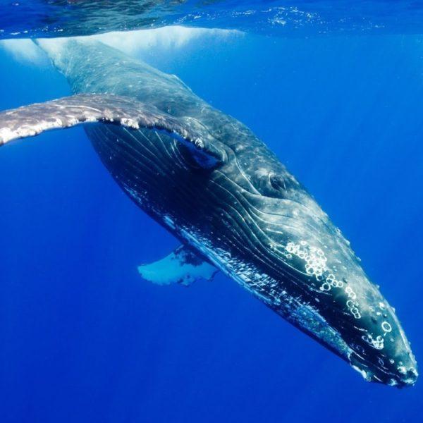 Il mistero della balena grigia nel Mar Ligure