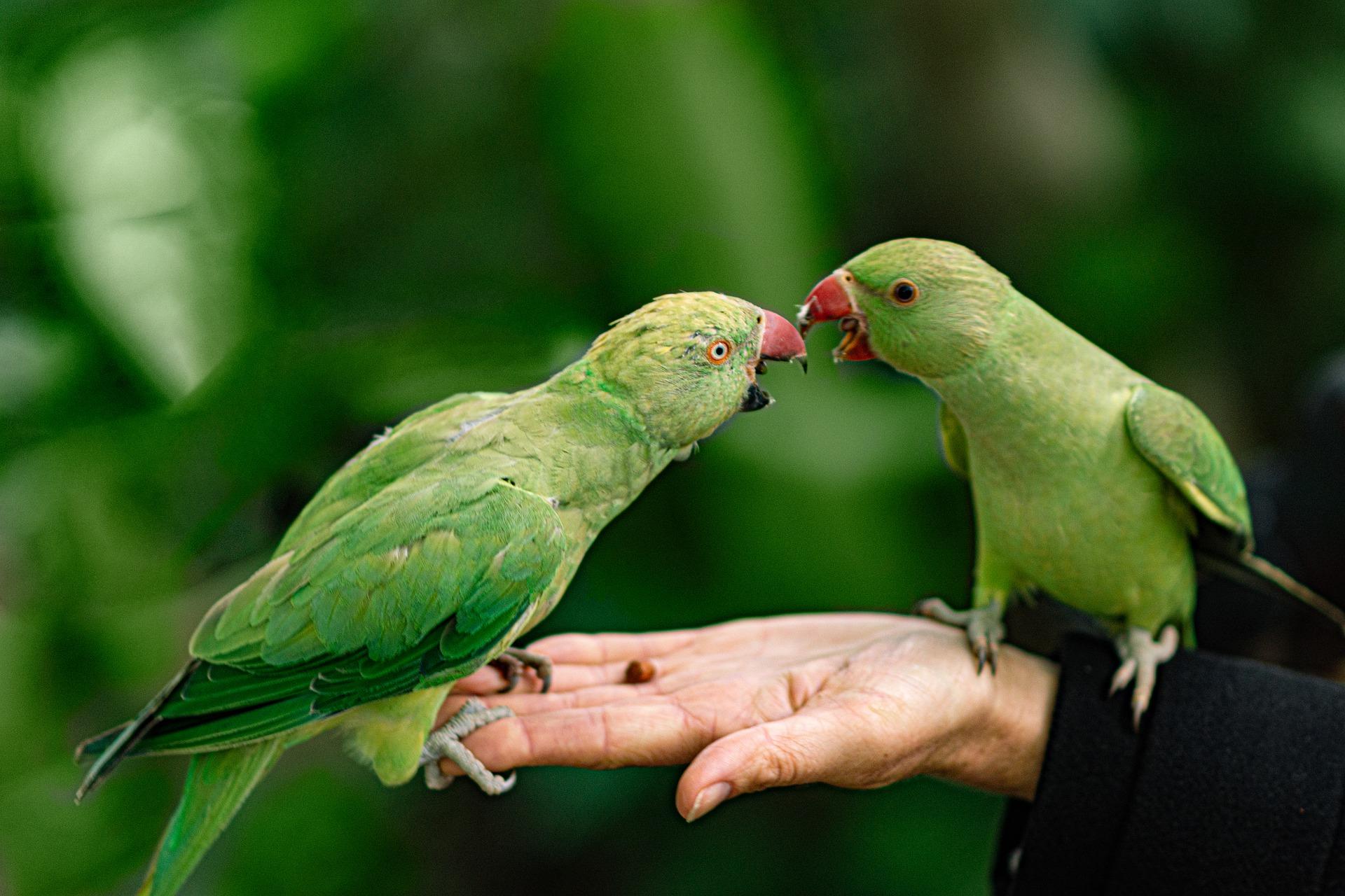 pappagalli mai soli