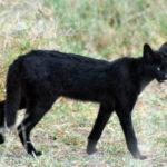 Serval, il felino scambiato per una pantera